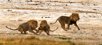 Two Male Lions Stop to Fight while the Third Runs Past after the Fremale