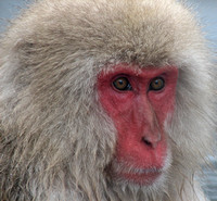 Portrait of a Snow Monkey Soaking in the Hot Springs