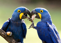 Pair of Hyacinth Macaw eating Palm Fruit