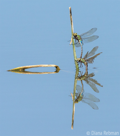 Mating Dragonflies with Reflection