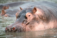 Close Up of a Hippopotamus