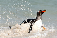 Gentoo Exiting the Water