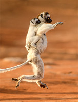Verreaux's Sifaka with Baby on Its Back
