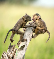 Young Olive Baboons Playing