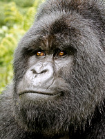 Close up of Silverback in the Rain