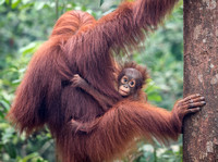 Mother and Infant Orangutan