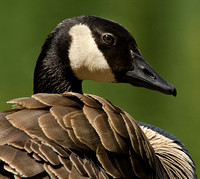 Portrait of a Canada Goose