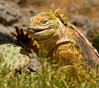 Female Land Iguana