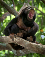 Red Handed Howler Monkey Howling