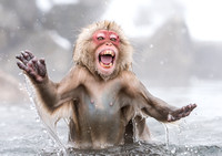 Snow Monkey Emerges from Hot Springs