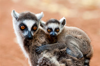 Ring-tailed Lemur, Mom with Baby on Back